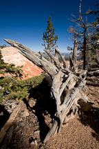 Bristlecone Loop Trail, Bryce Canyon NP, Utah. - Photo #19090