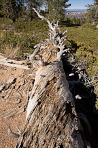Fallen tree on the Bristlecone Loop Trail, Bryce Canyon NP, Utah. - Photo #19091