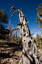 Twisted tree trunk. Bristlecone Loop Trail, Bryce Canyon NP, Utah. - Photo #19089