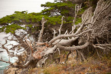 Fallen cypress tree at the Allan Memorial Grove. Point Lobos, California. - Photo #26922