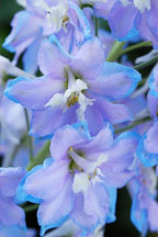 Pacific giant delphinium - Photo #4422