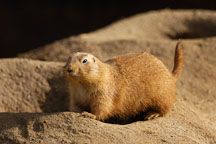 Black-tailed Prairie Dog, Cynomys ludovicianus. - Photo #2523