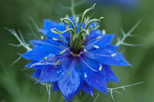 Nigella damascena. Nigella; Love-in-a-mist. - Photo #1723