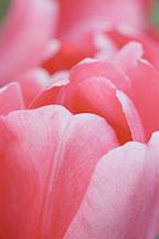 Tulip 'Pink impression', Tulipa - Photo #3023