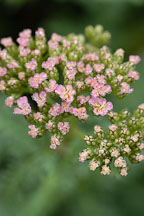 Achillea millifolium 'Heidi'. - Photo #2324
