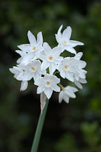 Narcissus papyraceus, Paperwhite Daffodil. - Photo #2424