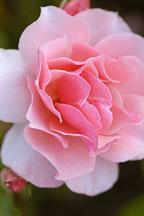 Rose 'duet'. Rosa. - Photo #4424