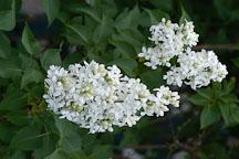 Syringa vulgaris 'Angel White', Lilac - Photo #3224
