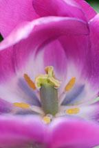 Tulip 'Negrita', Tulipa. - Photo #2924