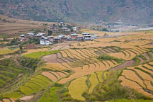 Rice fields and farmhouses in Punakha. - Photo #23222