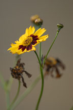 Coreopsis tinctoria. Plains coreopsis. - Photo #2425