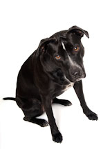 Chiqui, a Labrador Retriever and Pit Bull Terrier mixed dog. - Photo #11626