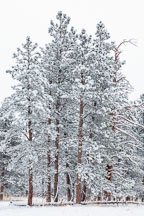 Pine trees in Chautauqua Park covered in snow. Boulder, Colorado. - Photo #33126