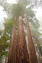 Towering redwoods. Redwood NP, California. - Photo #28826
