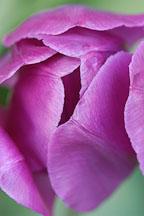 Tulip 'Negrita', Tulipa. - Photo #3026