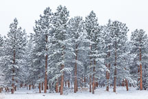 Stand of pine trees. Winter in Chautauqua Park, Boulder, Colorado. - Photo #33127