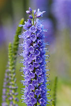 Veronica spicata 'Blue Charm'. Spiked Speedwell. - Photo #1327