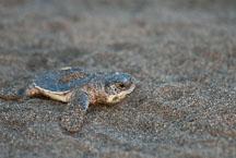 Baby turtle crawls over the sand. Atlantic Green Sea Turtle. Tortuguero, Costa Rica. - Photo #14028