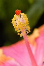 Hibiscus stamen. - Photo #3528