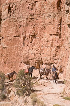 Man leading pack mules on the South Kaibab Trail. Grand Canyon NP, Arizona. - Photo #17428