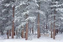 Pine forest in winter. Chautauqua Park, Boulder, Colorado. - Photo #33128
