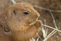 Black-tailed Prairie dog eating grass. Cynomys ludovicianus. - Photo #2528