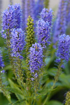 Veronica spicata 'Blue Charm'. Spiked Speedwell. - Photo #1328