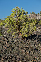 Juniper tree, Devils Homestead Flow. Lava Beds National Monument, California. - Photo #27285
