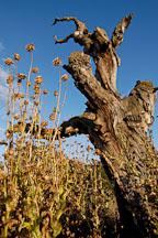 Dead tree and thistles. Arastradero preserve, California, USA. - Photo #7829