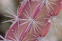 Octopus cactus. Stenocereus alamosensis. - Photo #5329