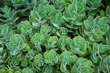 Sedum spectabile 'Brilliant' - Photo #1229