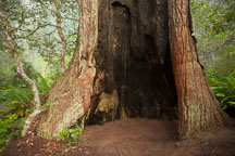 Redwood tree hollowed out by fire. Redwood National Park, California. - Photo #28830