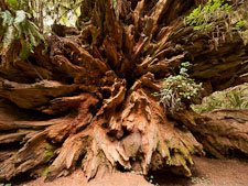 Roots of fallen redwood tree. Redwood NP, California. - Photo #28813