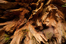 Roots of redwood tree. Jedediah Smith Redwood State Park, California. - Photo #28815
