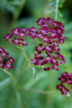Achillea millefolium, 'Summer Wine'. - Photo #1722