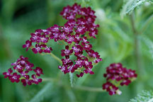 Achillea millefolium 'Summer Wine'. Yarrow - Photo #1721