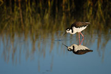 Black-necked stilt, Himantopus mexicanus. Palo Alto Baylands Nature Preserve, California. - Photo #1738