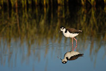 Black-necked stilt, Himantopus mexicanus. Palo Alto Baylands Nature Preserve, California. - Photo #1737