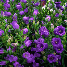 Campanula. Canterbury Bells. 'Champion light blue'. - Photo #1234