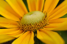Close-up of Rudbeckia hirta. Gloriosa Daisy, 'Prarie Sun'. - Photo #1889