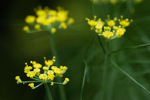 Dill. Anethum graveolens. - Photo #1910