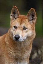 Dingo portrait. Canis familiaris dingo. Australian wild dog. - Photo #1603