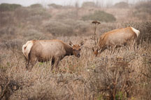 Tule elk does at Tomales Point. Point Reyes National Seashore, California. Cervus nannodes - Photo #1783