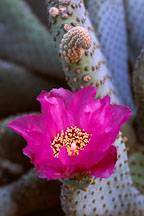 Pictures of Opuntia