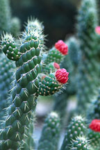 Flowering cacti. - Photo #1251
