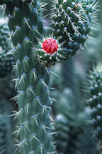 Flowering cacti. - Photo #1252