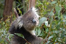 Koala. Phascolarctos cinereus - Photo #1605
