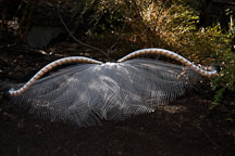 Lyrebird. Australia. - Photo #1587