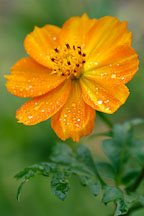 Morning dew on Cosmos sulphureus, 'Bright Lights'. - Photo #1905