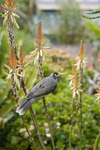 Noisy Miner, Manorina melanocephala. Royal Botanical Gardens. Sydney, Australia. - Photo #1683